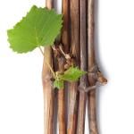Выращивание винограда из черенков. Ошибки новичков