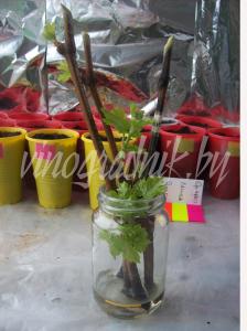 Укоренение черенков винограда в воде.