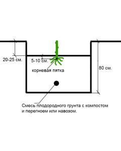 Схема посадки саженца в посадочную яму.