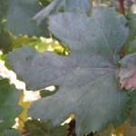 Оидиум винограда - настоящая мучнистая роса +ВИДЕО