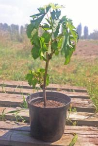Вегетирующий саженец винограда с закрытой корневой системой.
