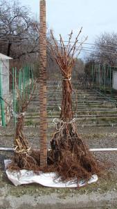 Обычные саженцы винограда с открытой корневой системой.