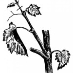 Пасынкование винограда, удаление пасынков +ВИДЕО