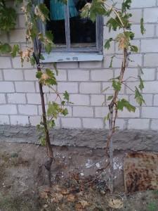 Саженец первого года вегетации на моем участке после первого ночного заморозка в конце сентября. Велся в два побега для формирования двухплечего кордона.