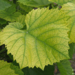Неинфекционный хлороз винограда +ВИДЕО