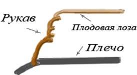 Рис12 Вид рукава после 3-4 лет обрезки. (рис. Ю. Грицай)