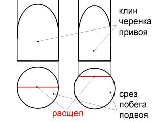 Рис.3 Место расщепа в зависимости от совпадения диаметров привоя и подвоя.
