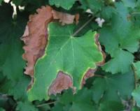 Симптомы краснухи на листьях.