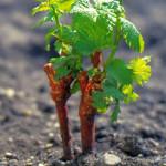 Как правильно посадить саженец винограда +ВИДЕО