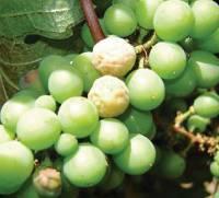 Типичный симптом поражения ягод белой гнилью.