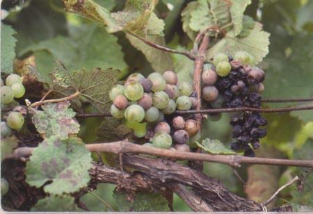 Рис.3 Черная пятнистость на плодах винограда.