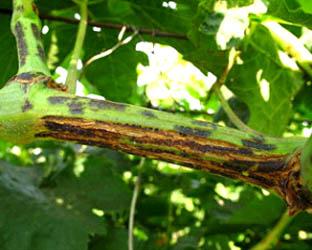 Рис.2 Побеги винограда пораженные черной пятнистостью.