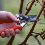 Как обрезать старый запущенный куст винограда +ВИДЕО
