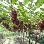 Обрезка и формировка беседочной формы винограда +ВИДЕО