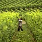 Почва на винограднике, содержание, обработка, уход