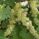 Нормировка урожая винограда +ВИДЕО