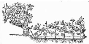 Выращивание саженцев с помощью китайской отводки.