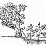 Размножение винограда китайской отводкой +ВИДЕО