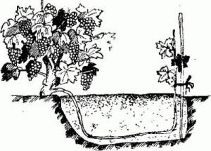 Получение нового куста в нужном месте или перемещение (омоложение) старого с помощью отводки.