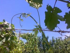 Загнутая точка роста виноградного побега говорит о том, что идет активный рост побега, и проведение чеканки преждевременно.
