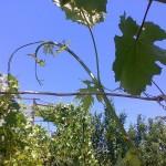 Чеканка побегов винограда +ВИДЕО