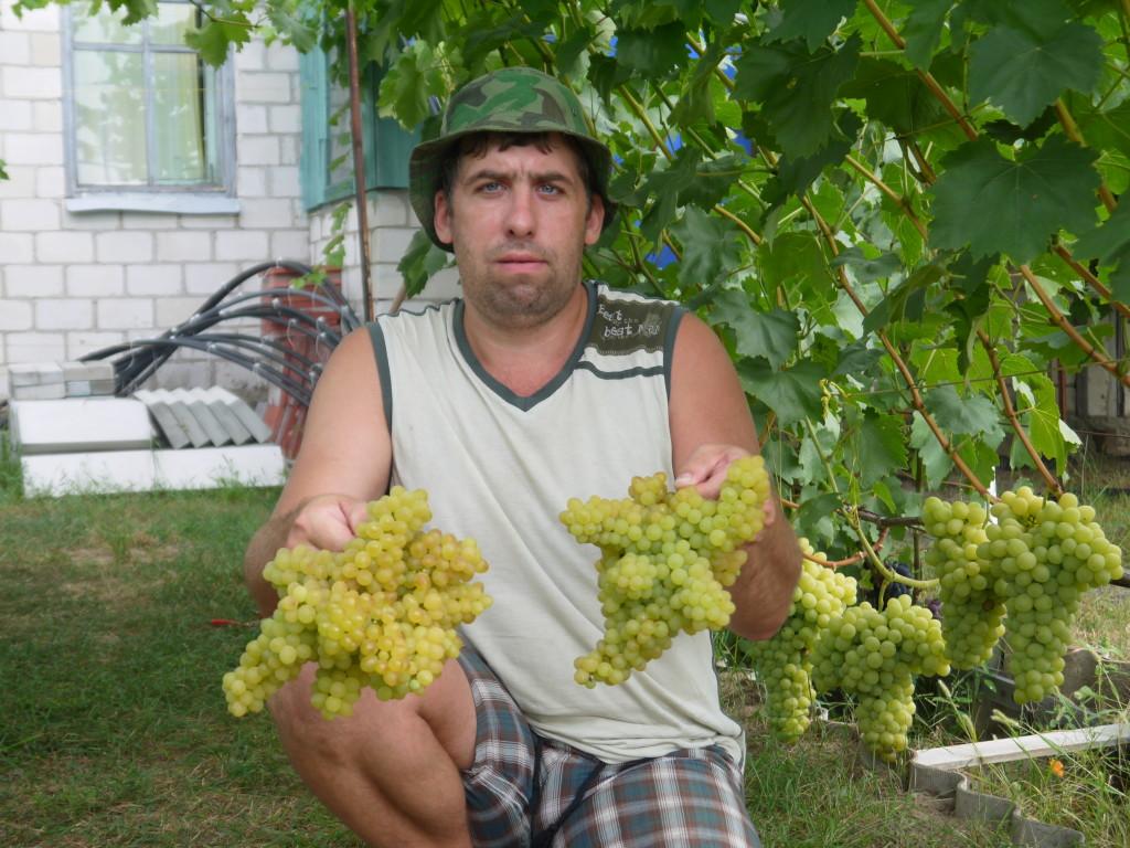 Сорт винограда кишмиш Г-342 (к-ш Венгерский). Вот такие необычные грозди получились в этом сезоне.