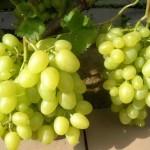 Сорт столового винограда Аркадия +ВИДЕО