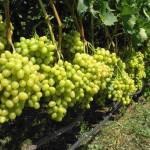 Выращивание винограда в Беларуси, центральной России и Сибири и других северных регионах