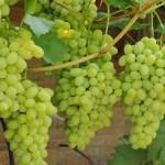 Сорт столового винограда Флора (он же Лора) +ВИДЕО