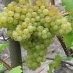 Сорт столового винограда Кишмиш №342 (Венгерский)
