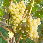 Сорт технического винограда Кристалл
