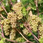 Сорт технического винограда Платовский +ВИДЕО