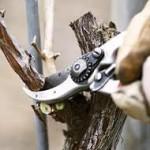 Тонкости обрезки винограда для новичков, плодовое звено +ВИДЕО