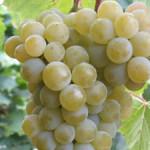 Сорт технического винограда Цитронный Магарача +ВИДЕО