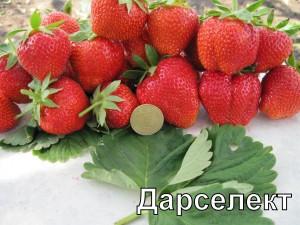 """Сорт клубники """"Дарсилект"""""""