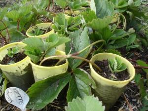 Укоренения розеток в пластиковых стаканчиках с землей