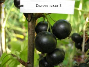 Selechenskaya-2