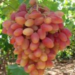 Сорт (гибридная форма) винограда Преображение +ВИДЕО