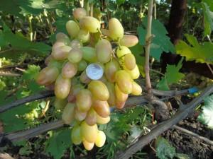 Разница окраски ягод Преображения в зависимости от климата выращивания