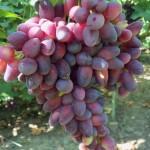 Сорт столового винограда Красотка+ВИДЕО