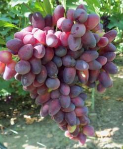 Сорт винограда Красотка