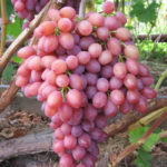 Сорт столового винограда Кишмиш Лучистый +ВИДЕО
