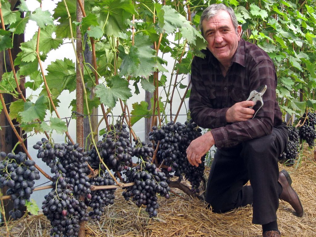 Виноградник мчедлидзе
