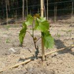 Механизированная посадка саженцев винограда+ВИДЕО