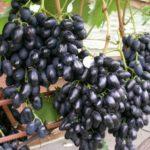 Сорт столового винограда «Надежда азос» ФОТО+ВИДЕО