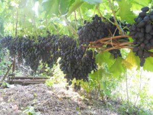 Сорт винограда Надежда азос, описание сорта с характеристикой и отзывами, а также особенности посадки и выращивания, фото