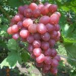 Сорт столового винограда Ливия ФОТО+ВИДЕО